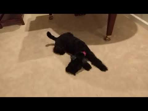 Kerry Blue Terrier & A Deflated Balloon