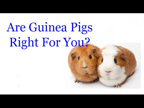 Are Guinea Pigs Right For You?