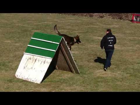 Kraftwerk K9 German Shepherd dog Big & Athletic!