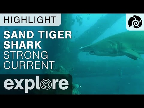 Sand Tiger Shark Swims in Strong Current - Shark Live Cam Highlight