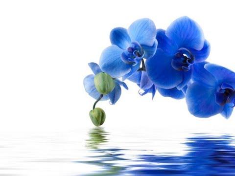 Секрет синей орхидеи.Орхидея белая превращается в голубую. (часть вторая).