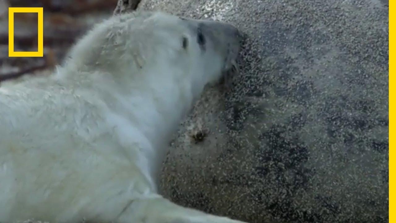 Les bébés phoques gris