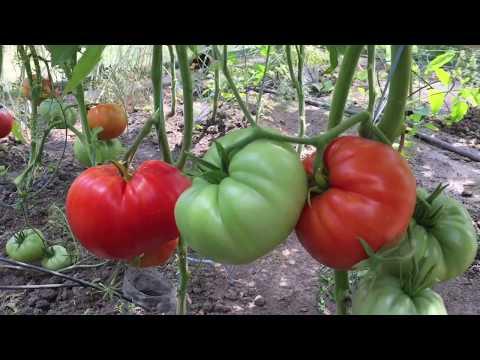 """Крупноплодные томаты. Прекрасный томат """"Три толстяка""""."""