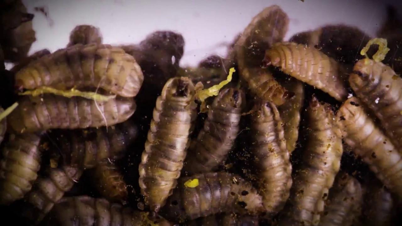 fly larvae body diagram [ 1280 x 720 Pixel ]