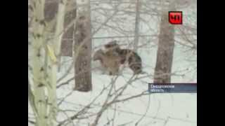 В Свердловской области на сторожа напала стая волков