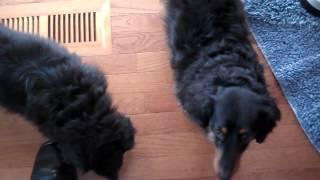 Pet sitting & dog walking Brooklyn Park MN Mikko & Izzy 3-3-12.mp4