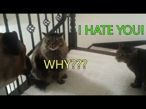 Two poor cats are in trouble because of the dog - Funny cats talking