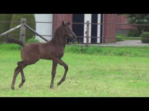 Dream Boy x Uphill stallion Yvonne Jansen