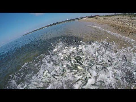 Giant Bluefish. Underwater Feeding Frenzy & Underwater Popper Strikes.