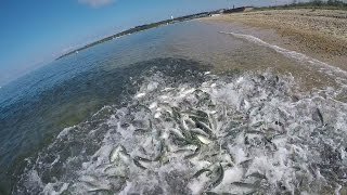 Giant Bluefish. Underwater Feeding Frenzy & Underwater Popper Strikes.