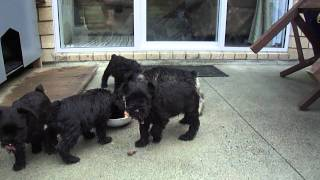 Puppies Having Mid-morning Meal.mp4