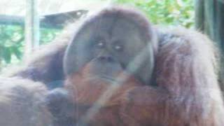 Toronto Zoo Sumatran Orangutan