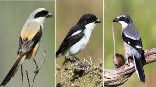 5 jenis burung cendet asli indonesia