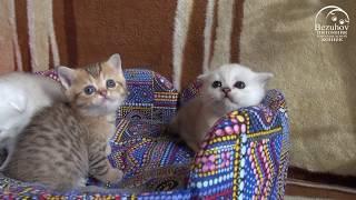Малыши, месяц и младше // Питомник шотландских кошек Безухов (Bezuhov) // Шотландские котята