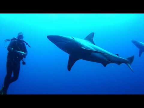 Scuba Diving with Sharks. Protea Banks South Africa Baited Shark Dive 2 November 2016