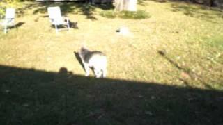 Fast Poodle Old Queensland