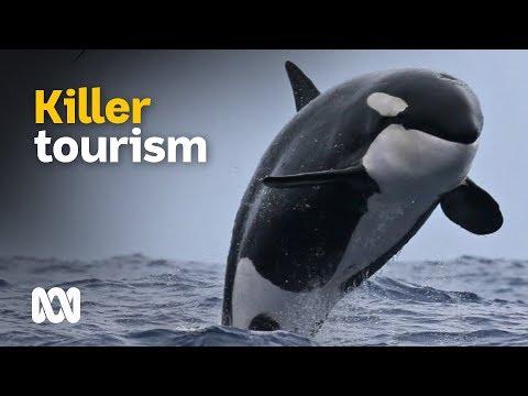 Orca Tourism: Killer Whales Draw Tourists In Southern Australia 🐋📷 | Landline | ABC Australia