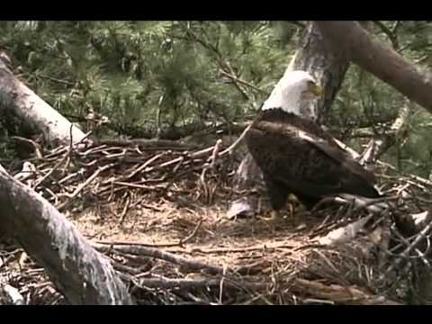 Norfolk Botanical Garden Eagle Cam - Dad in the empty nest