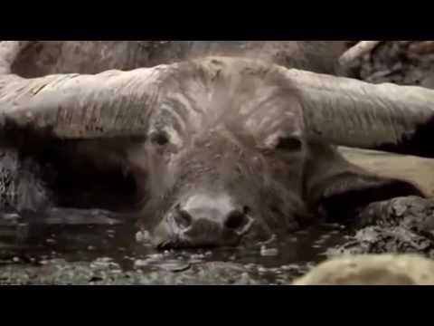 اقوى 8 معارك صادمة بين الحيوانات تم تصويرها على كاميرا ..!!