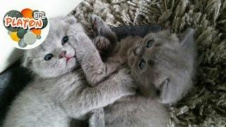 Cutest Scottish fold kittens playing Вислоухие котята играют PART 1