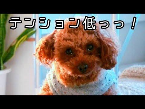 朝は苦手・・、そんな日もある。トイプードルのTaruto&Rasuku