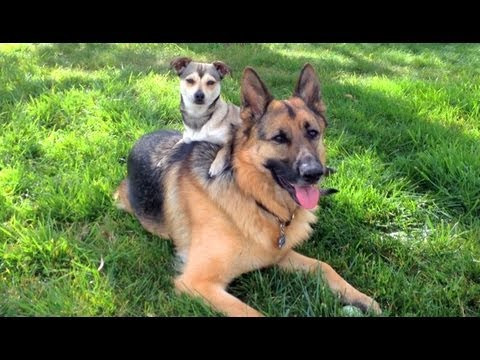 Two inseparable Dogs. German Shepherd and Rat Terrier