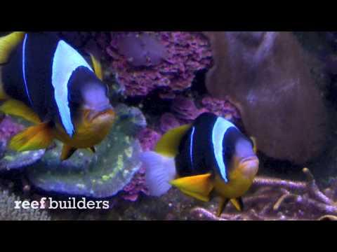 South African Allardi Clownfish at Ushaka Aquarium, Durban