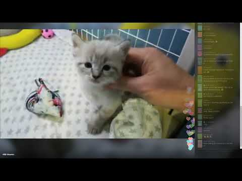 Fantastical Kittens - Periscope 2018-10-13