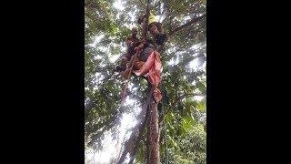 Pengsan atas pokok