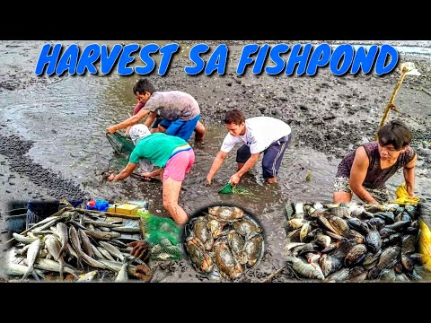 harvesting-tilapia,bangus-and-alimango-from-our-fishpond
