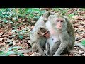 How Can Mom Weaning Adult Monkey If He Cry Like Baby 4 Month Old