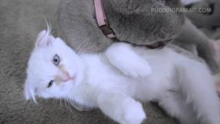 Scottish Fold Kitten & Cat Tongue Bath Battle Thumbnail