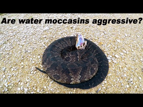 Are Water Moccasins Really Aggressive ?