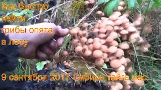 Поход в лес за грибами опятами 9 сентября 2017 Сибирь тайга природа охота сбор грибов тихая охота