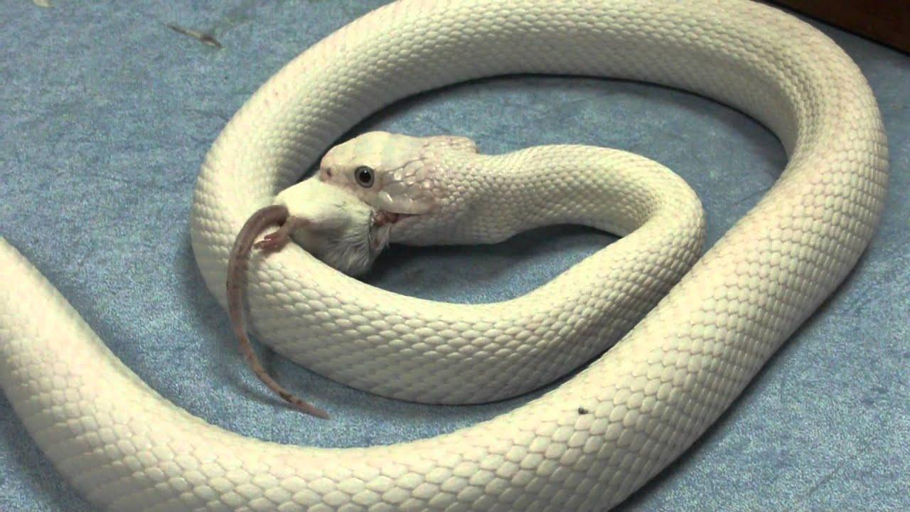 White snake eating a white mouse   Serpiente blanca comiendo raton blanco  CRARC fdb07ca220a9
