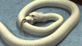 White snake eating a white mouse / Serpiente blanca comiendo raton blanco CRARC