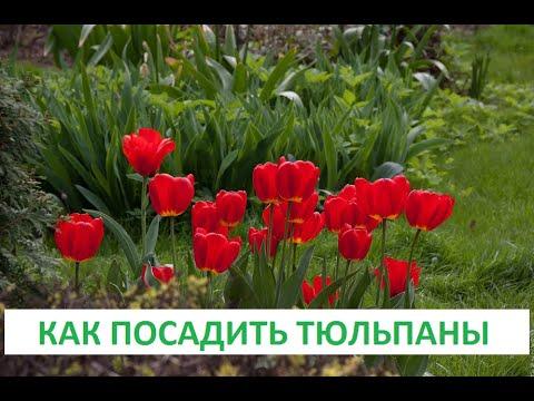 Как посадить тюльпаны.