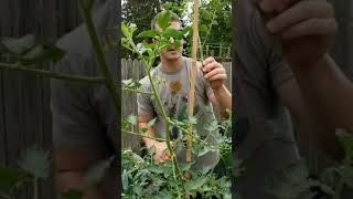 How To Prune & Stake San Marzano Tomatoes (indeterminate)