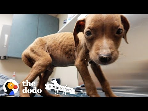 1.8Pound Pit Bull Puppy Is Huge And Handsome Now | The Dodo Pittie Nation