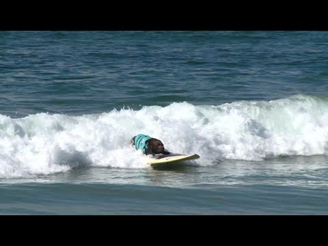 Huntington Beach Dog Surfing Competition