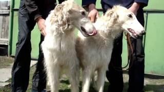 Охотничьи собаки (п.Ленино, 2011)