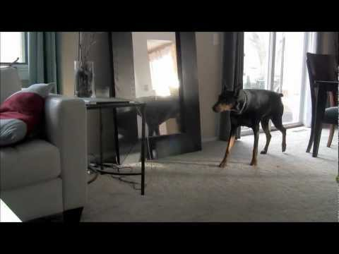 Ninja Doberman Attacks Pit Bull