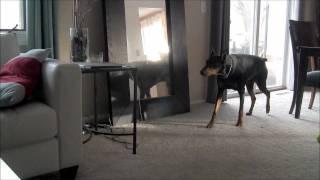 Ninja Doberman Attacks Pit Bull