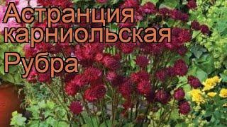 Астранция карниольская Рубра (astrantia rubra) ???? обзор: как сажать, рассада, саженцы астранции Рубра