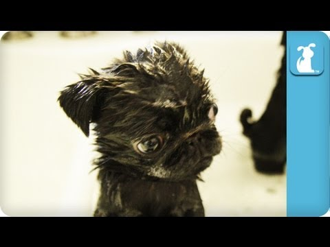 80 Seconds Of Precious Pug Puppies In A Tub