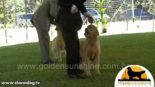 Show Dog - Golden Retriever - BR Golden Sunshine Gorcas Spot  -