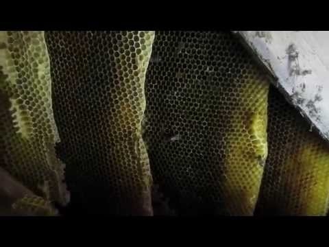 Wild Bee Hive Relocation : ) Huge Colony - 5yr's Old !! - Vs. 2