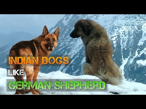 Indian Dogs Like German Shepherd