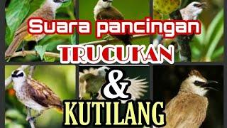 Download Suara pancingan burung trucukan dan kutilang.mp3 || 100% ampuh,pasti nyaut || pikat burung mania