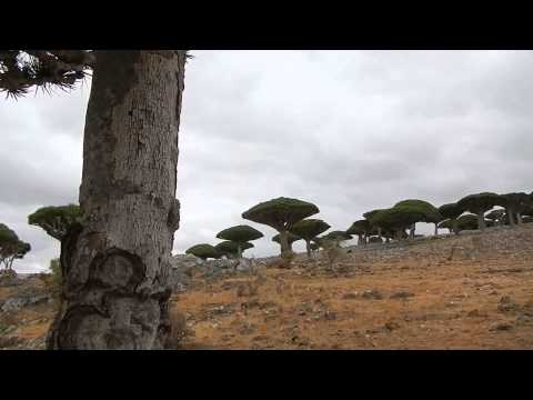 Day 8 Socotra - Dragon Blood Tree red resin